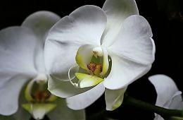 orchidea-singapore